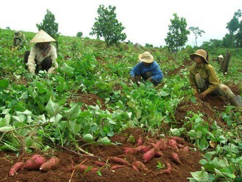 Khoai lang được trồng phổ biến ở nước ta