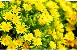 Hoa cúc vàng với phục linh sẽ là một kết hợp tuyệt vời giúp làn da của chị em phụ nữ tươi sáng