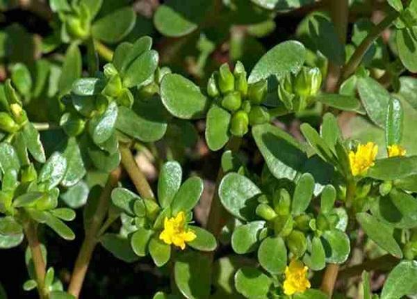 Rau sam có màu đỏ tía đặc trưng, có lá màu xanh mướt, hoa màu đỏ,vàng