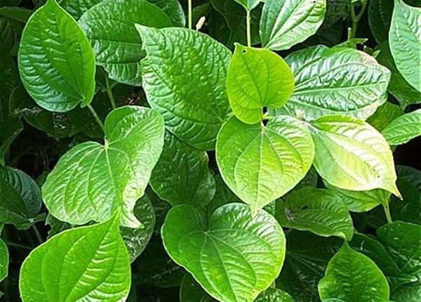 Lá lốt là loại cây quen thuộc, có công dụng chữa bệnh hiệu quả