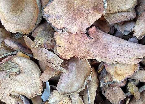 Thân rễ là bộ phận của cây phục linh được sử dụng làm dược liệu