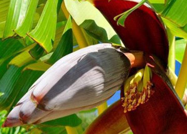 Y sĩ Y học cổ truyền Hà Nội mách bạn lợi ích của hoa chuối