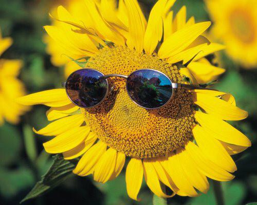 Bài thuốc chữa bách bệnh từ hoa hướng dương