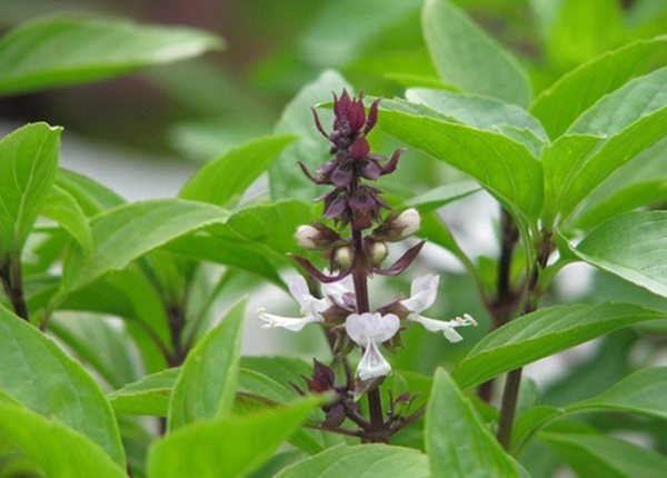 Cây Húng Quế là cây thuốc quý để điều trị tiểu đường tại nhà