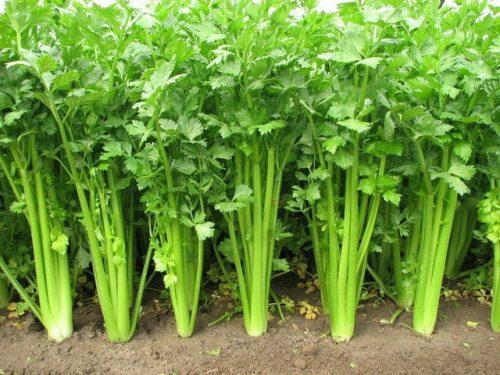 Cần tây được trồng nhiều ở nước