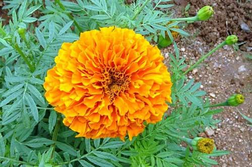 Cây hoa cúc vạn thọ: Những tác dụng trị bệnh tuyệt vời