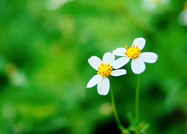 Tìm hiểu công dụng của hoa xuyến chi