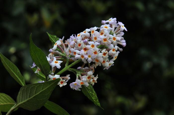Mật mông hoa là một loại cây thảo chủ yếu mọc hoang phân