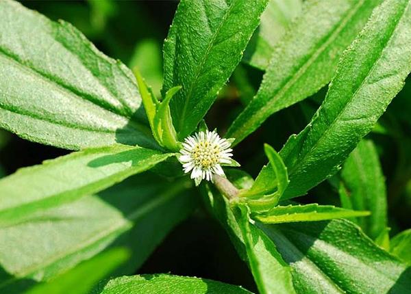 Cây cỏ mực là cây thuốc Nam hữu ích