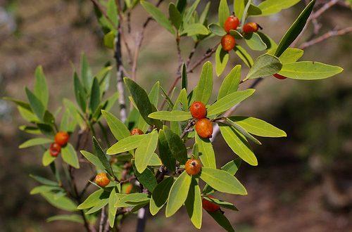 Niệt gió là loại cây chủ yếu mọc hoang phân bố nhiều ở nước ta