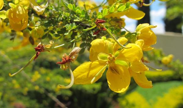Ở nước ta Tô mộc còn được trồng để làm bóng mát