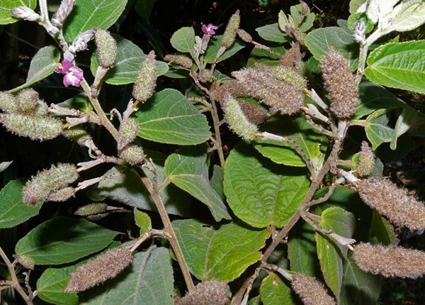 Gan khỏe nhờ những cây thuốc nam có sẵn trong vườn nhà