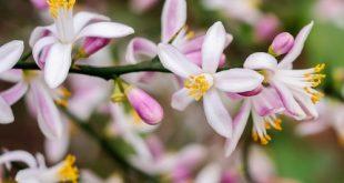 Làm căng da mặt bằng hoa bưởi và hoa chanh