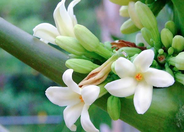Bài thuốc hiệu quả với hoa đu đủ đực