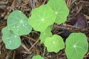 Bải thuốc chữa bệnh từ cây thảo hà diệp liên trong YHCT