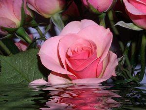 Bài thuốc Y học cổ truyền trong điều trị bệnh từ hoa hồng