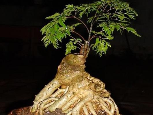 Cây đinh lăng: Thần Dược giúp chống độc tăng lực toàn thân