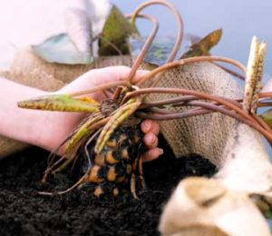 Rễ và củ của hoa súng được sử dụng để làm thuốc