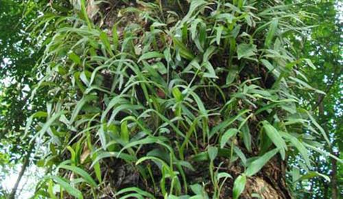 Cây tầm gửi cây dâu hỗ trợ trị viêm cầu thận