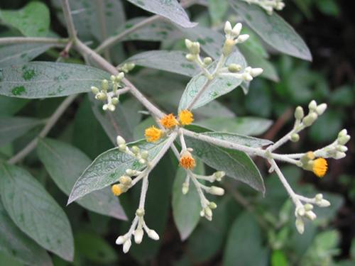 Đại ngải là cây thuốc nam quý mọc hoang ở vùng trung du và miền núi