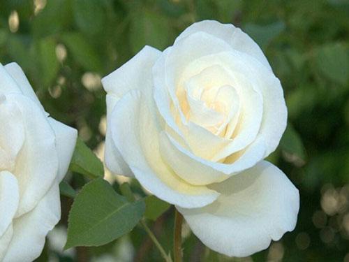 Hoa hồng cũng là vị thuốc nam có tác dụng trị ho hiệu quả