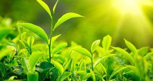 Công năng tuyệt vời của trà xanh trong duy trì sức khỏe con người