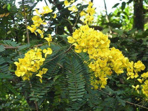 Vọng giang nam là loại cây chủ yếu mọc hoang