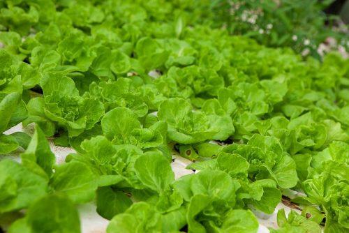 Xà lách được trồng phổ biến ở nước ta