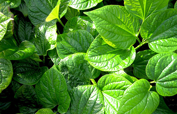 YHCT bật mí 3 loại cỏ chữa thoái hóa cột sống và các bệnh xương khớp